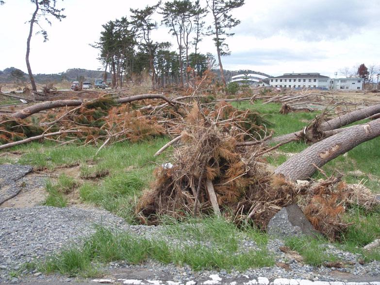 根こそぎ倒されている木